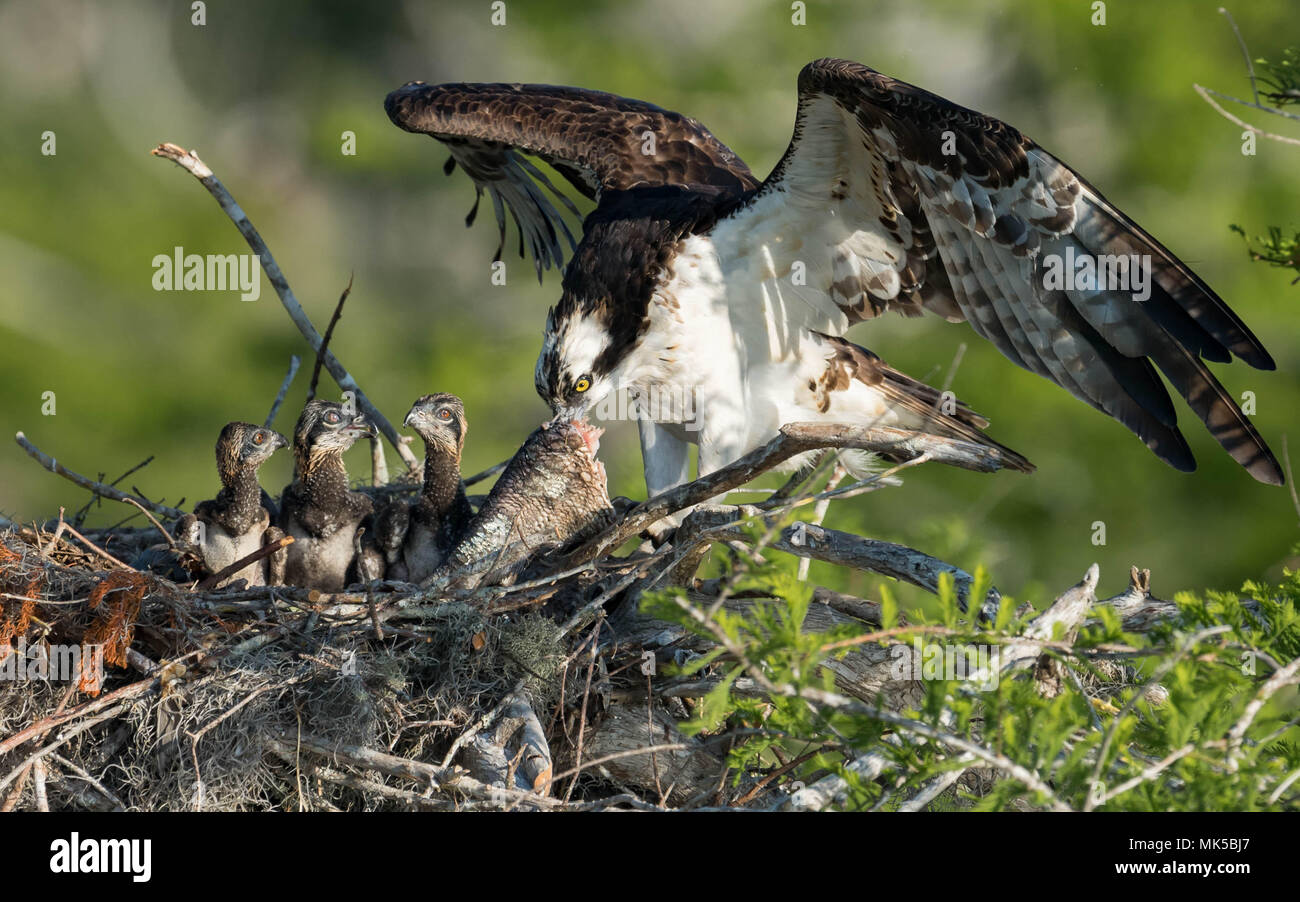 Osprey in Florida - Stock Image