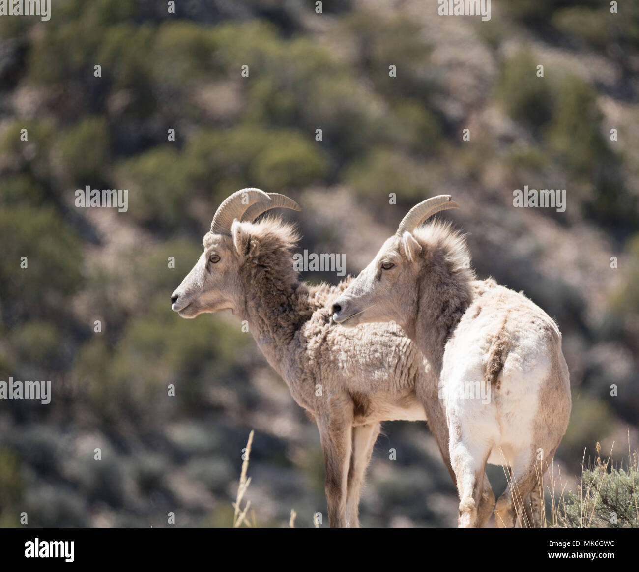 Two Bighorn sheep ewes with their backs to the camera, looking left. Photographed in Bighorn Canyon National Recreation Area. Stock Photo