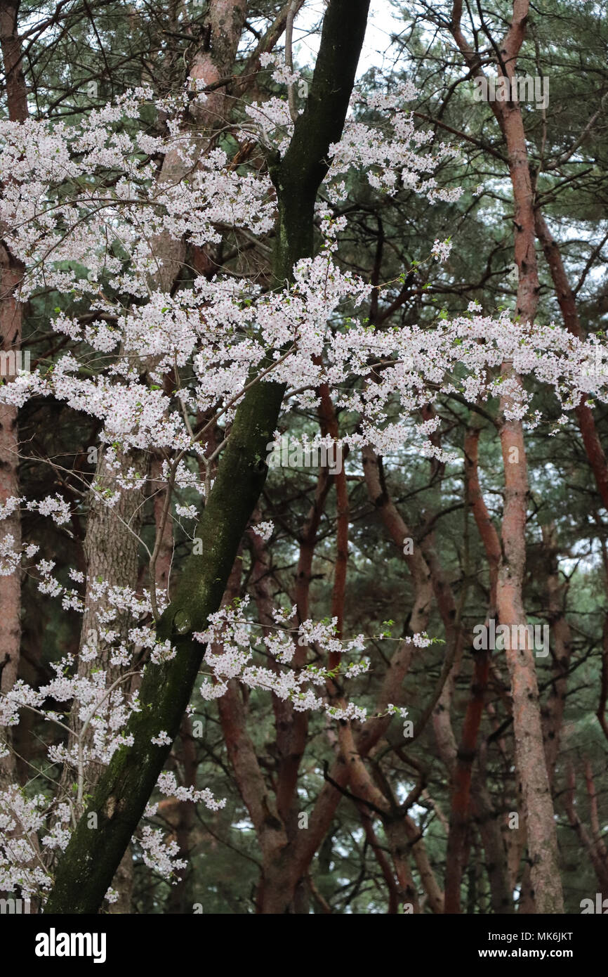 Delicate cherry blossom laden branches among the sinuous trunks of red pine trees in a South Korean forest;  green, brown and light pinks, overcast. Stock Photo