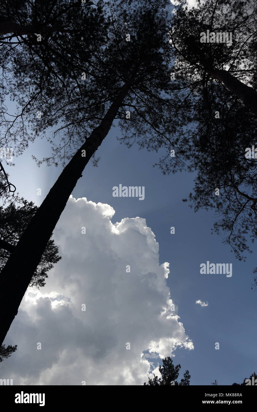 Blue sky, silver lined cloud and a silhouette of tall pine tree - Stock Image