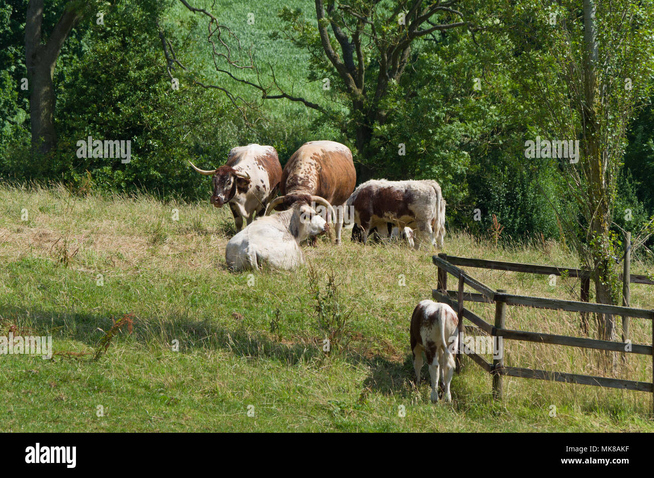 english longhorn cattle stock photos english longhorn cattle stock images alamy. Black Bedroom Furniture Sets. Home Design Ideas