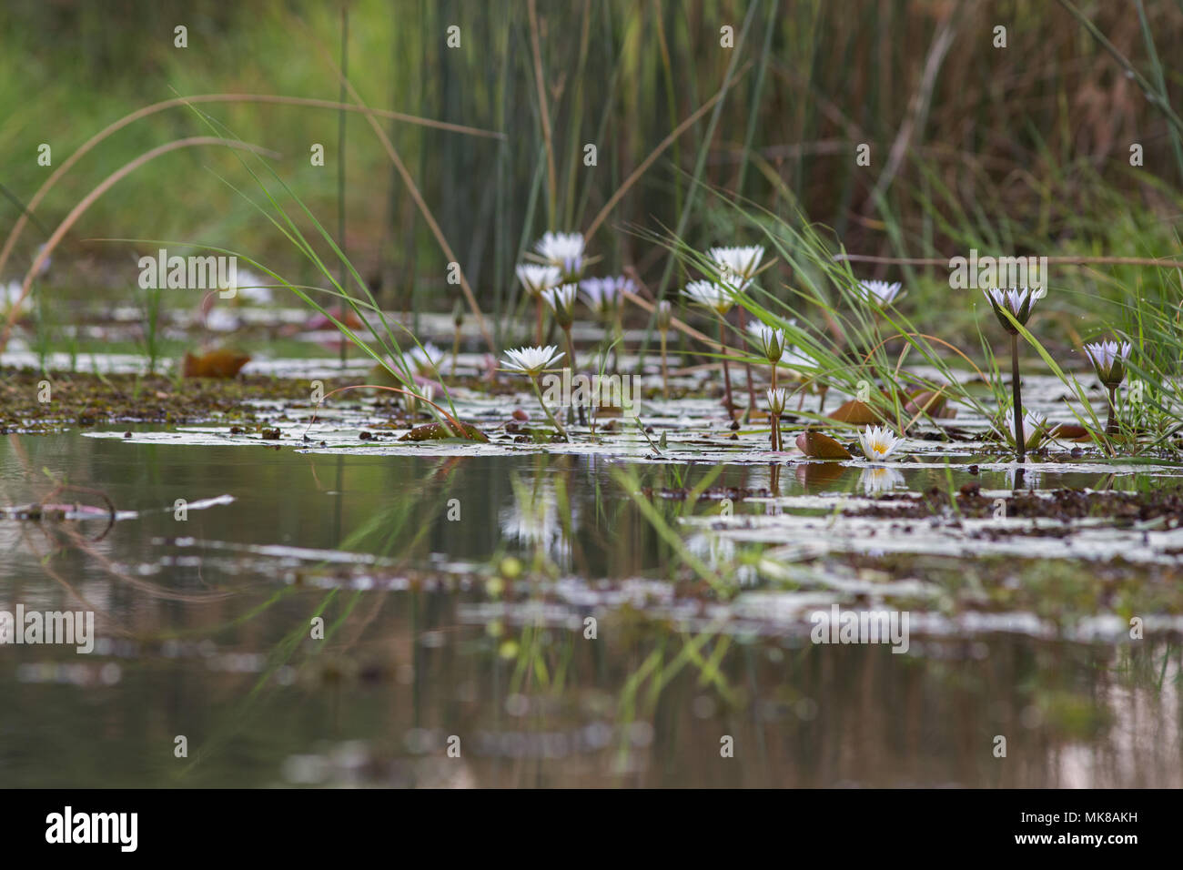 Waterlily (Nymphaea nouchali caerulea). Bud, buds and open flower, and reflections on water surface. Freshwater pool. Okavango Delta. Botswana, Africa - Stock Image