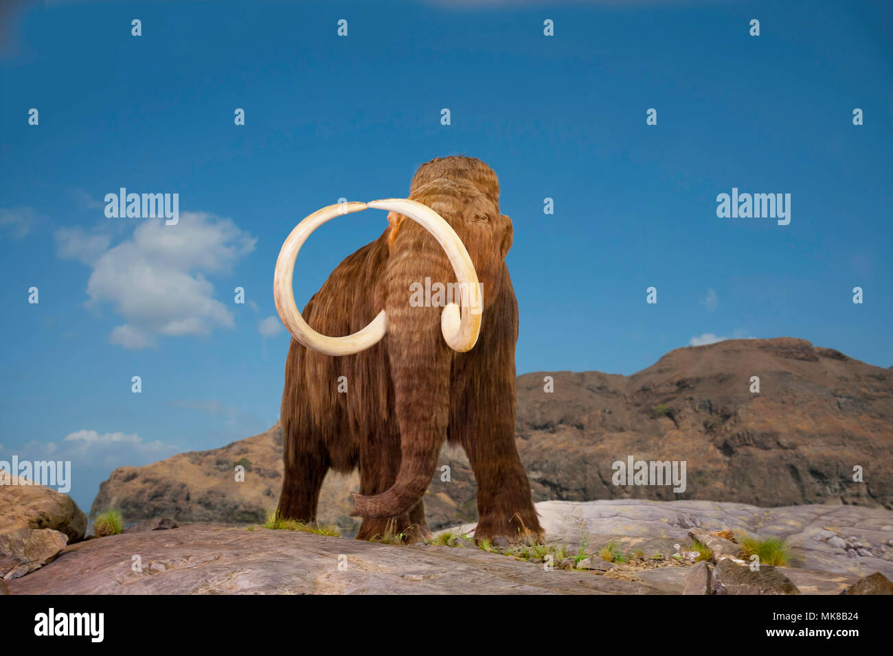 The woolly mammoth, Mammuthus primigenius, was a species of mammoth that lived during the Pleistocene epoch, and was one of the last in a line of mamm - Stock Image