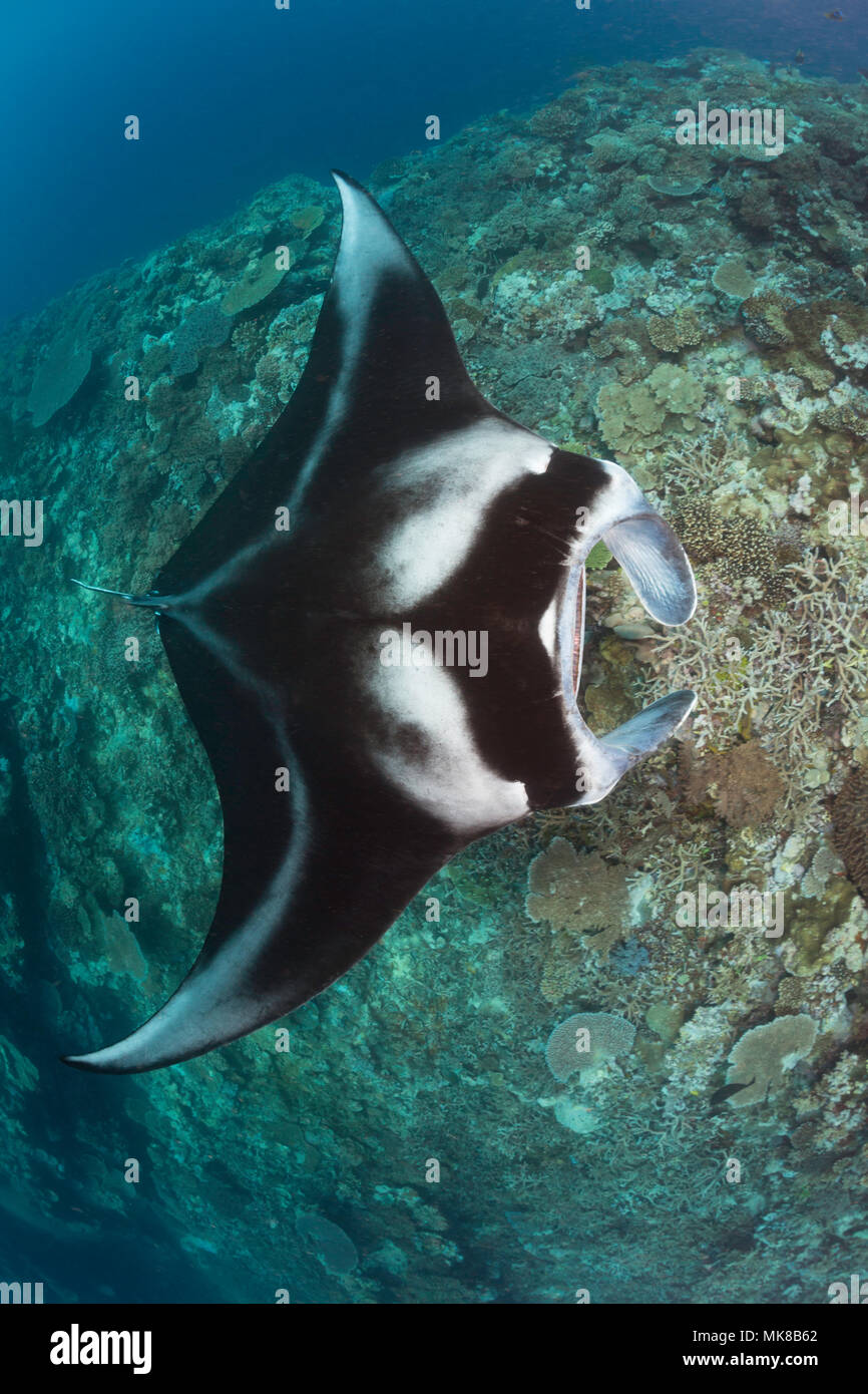 A manta ray, Manta alfredi, gets close to the reef to be inspected by small cleaner wrasse, Fiji. - Stock Image