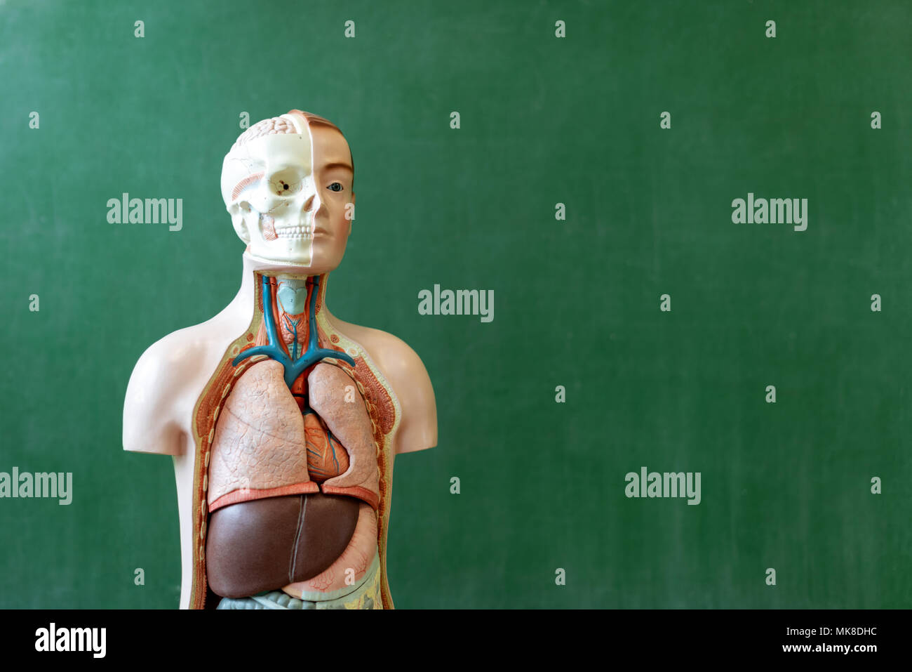 Artificial human body model. Biology class. Anatomy teaching aid. Education concept. - Stock Image