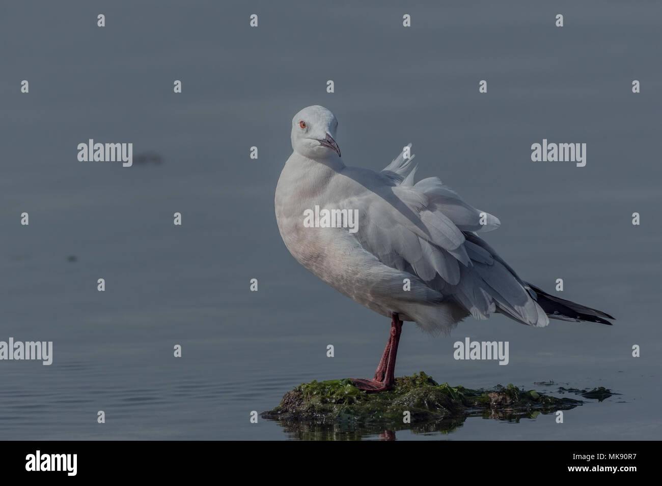 Slender Billed Gull (Chroicocephalus genei) Close-Up. Stock Photo