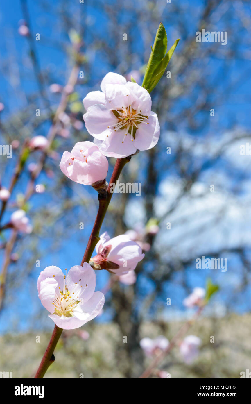 Blooming peach the branch of fruit trees with pink flowers with the branch of fruit trees with pink flowers with blue sky background selective focus izmirmasajfo