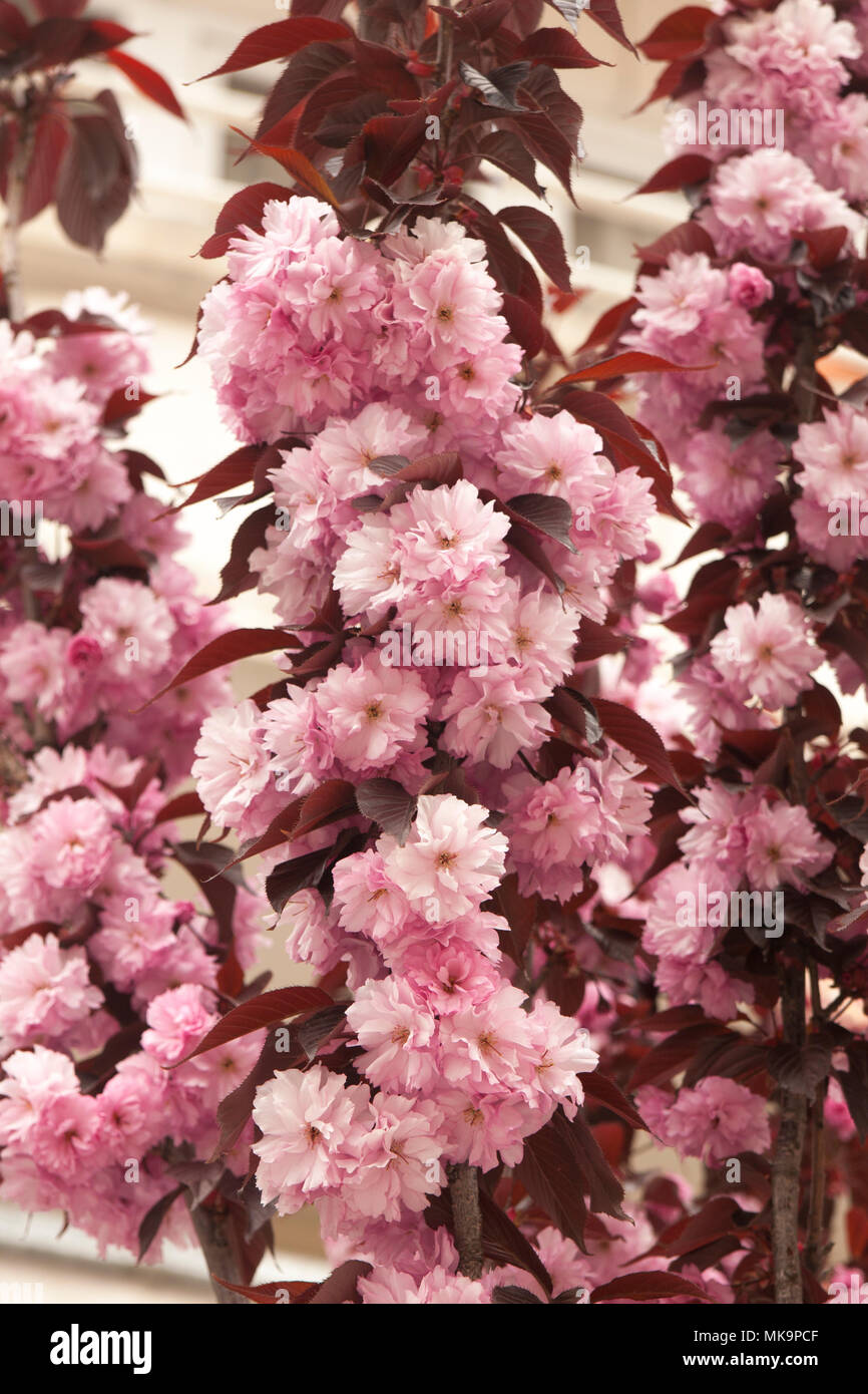 Flowers of double almond tree pink colour latin name prunus dulcis flowers of double almond tree pink colour latin name prunus dulcis vertical mightylinksfo
