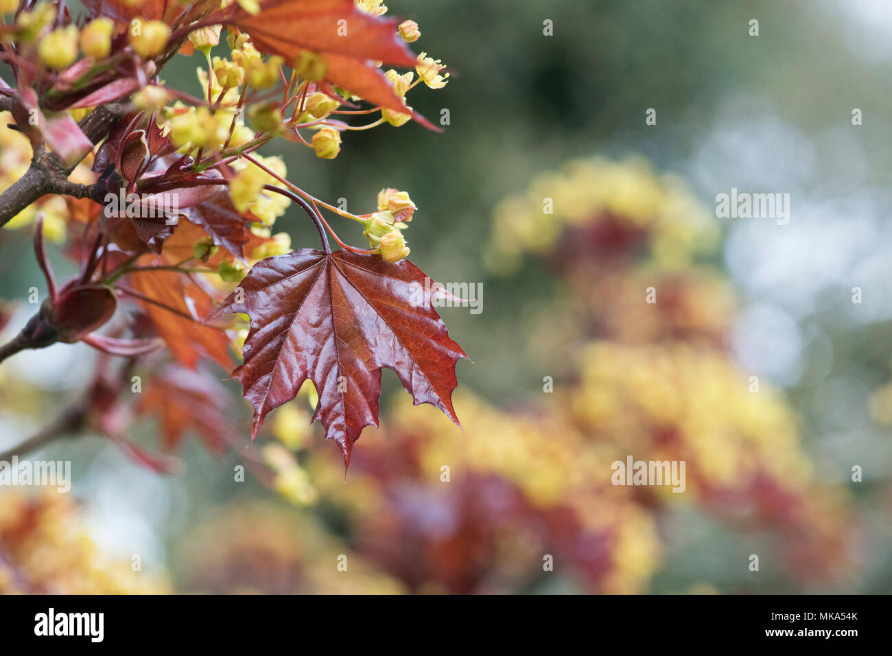 Acer Platanoides 'Goldsworth purple'. Norway Maple tree flowering in spring Stock Photo