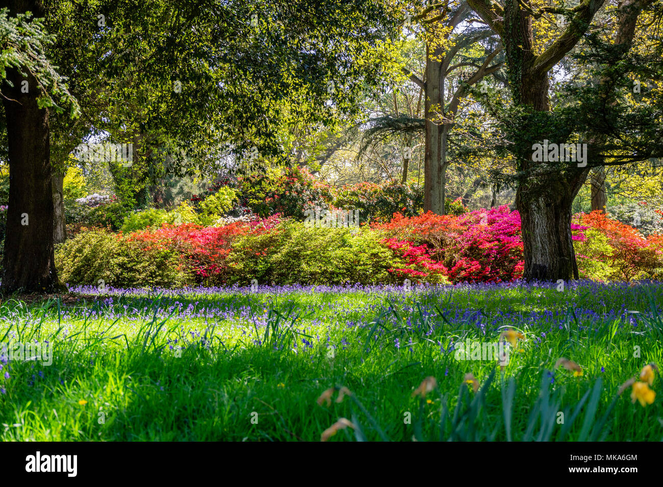 Colourful plants during spring in the grounds of Exbury gardens, a large woodland garden belonging to the Rothschild family in Hampshire, England, UK - Stock Image