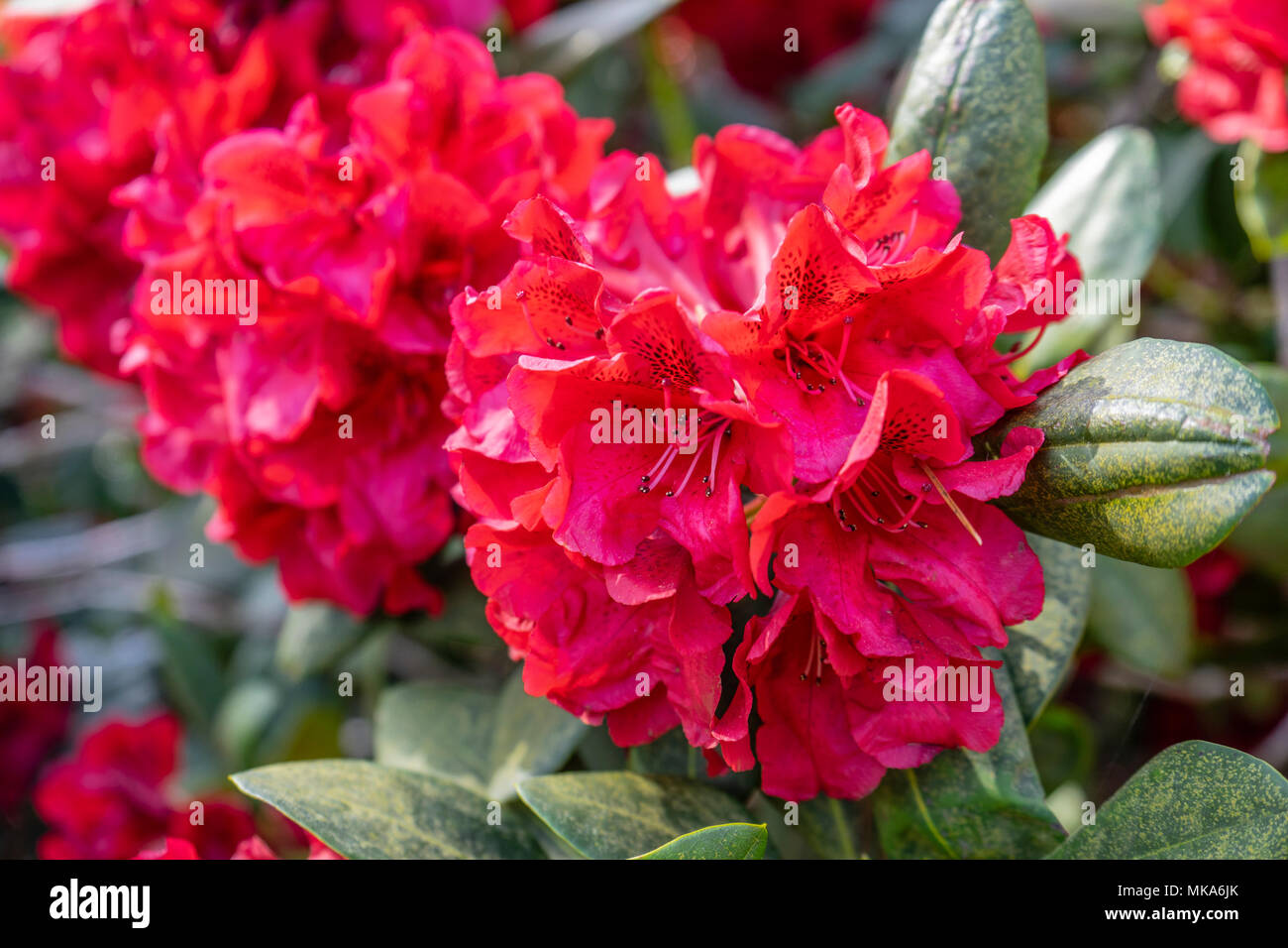 """Close up of the red flower trusses of a 'Grace Seabrook"""" Rhododendron plant in a garden in Southern England during May/ spring, UK Stock Photo"""