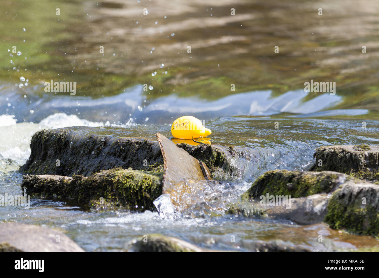 Richmond, North Yorkshire, UK. Monday 7th May, 2018. Organised by Richmond Duck Club, the Grand Duck Race takes place annually on May Day bank holiday and sees 2500 plastic ducks tipped into the River Swale from the Green Bridge from where they float downstream, over the waterfalls to the finishing line at the Batts near the Station Bridge. Credit: Andrew Nicholson/Alamy Live News - Stock Image