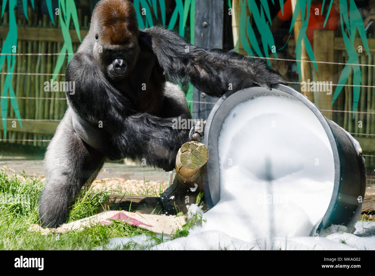 London, UK. 7th May, 2018. Western lowland gorillas having fun in