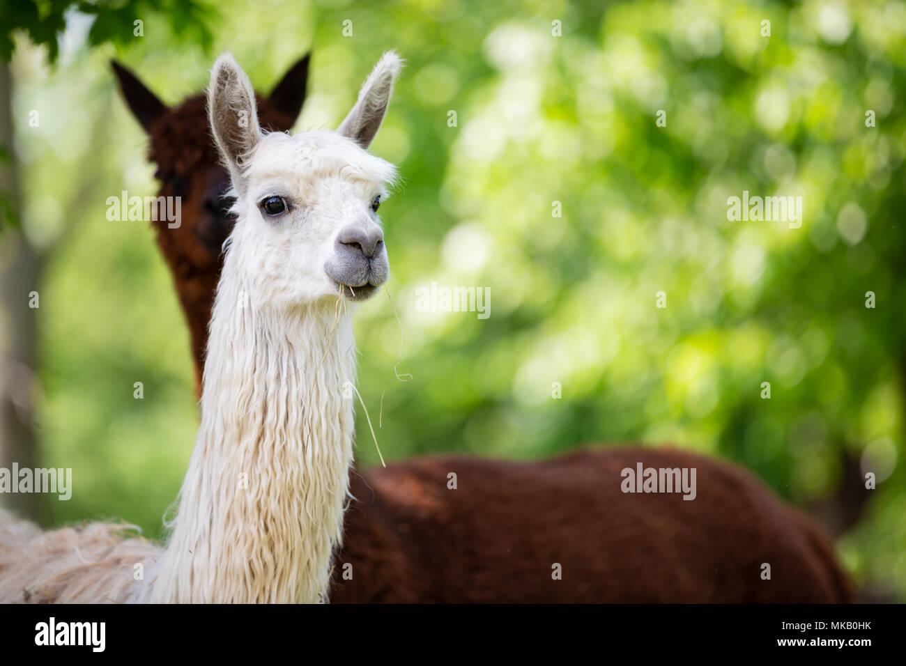 Portrait of white Alpaca, a South American mammal - Stock Image