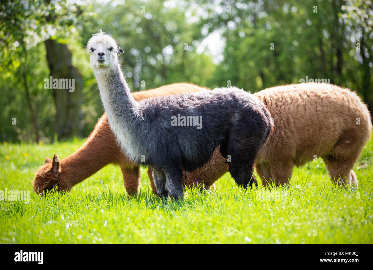 Alpacas while eating grass, South American mammals - Stock Image