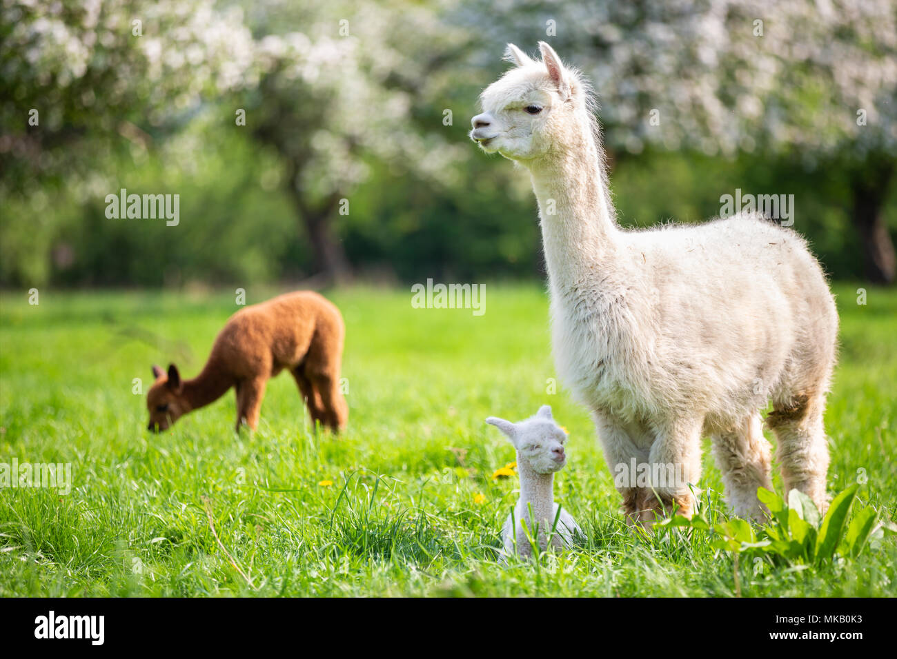 White Alpaca with offspring, South American mammal - Stock Image