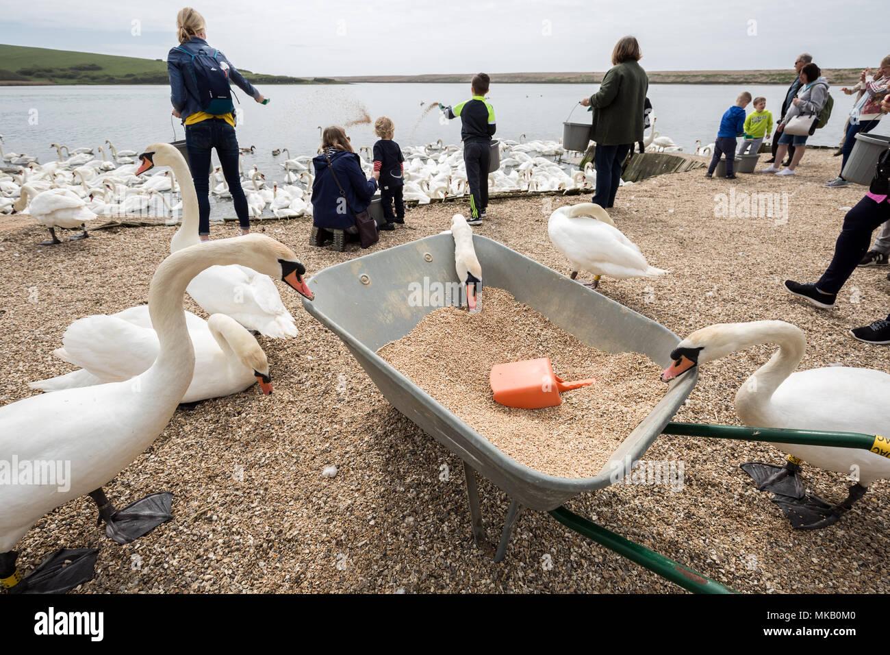 Abbotsbury Swannery in Dorset, UK. - Stock Image