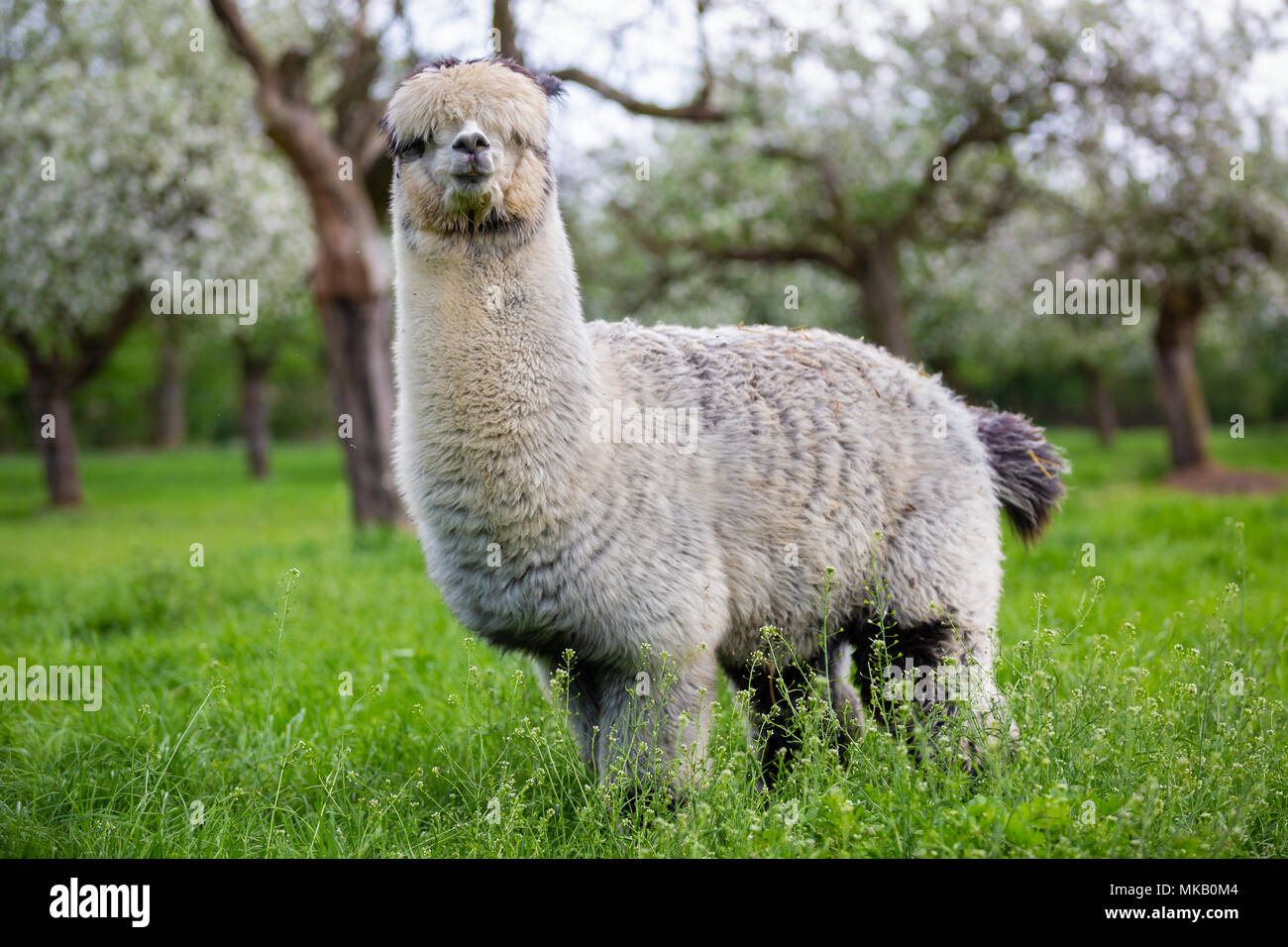 Adult Alpaca in the bosom of nature, South American mammal - Stock Image