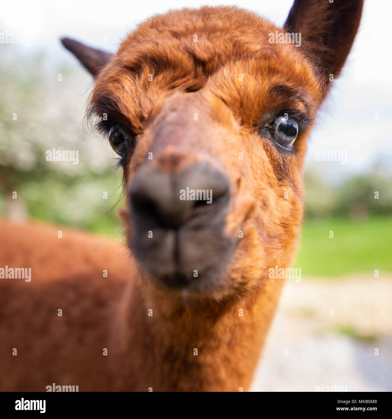 Portrait of a young Alpaca close-up, South American mammal - Stock Image