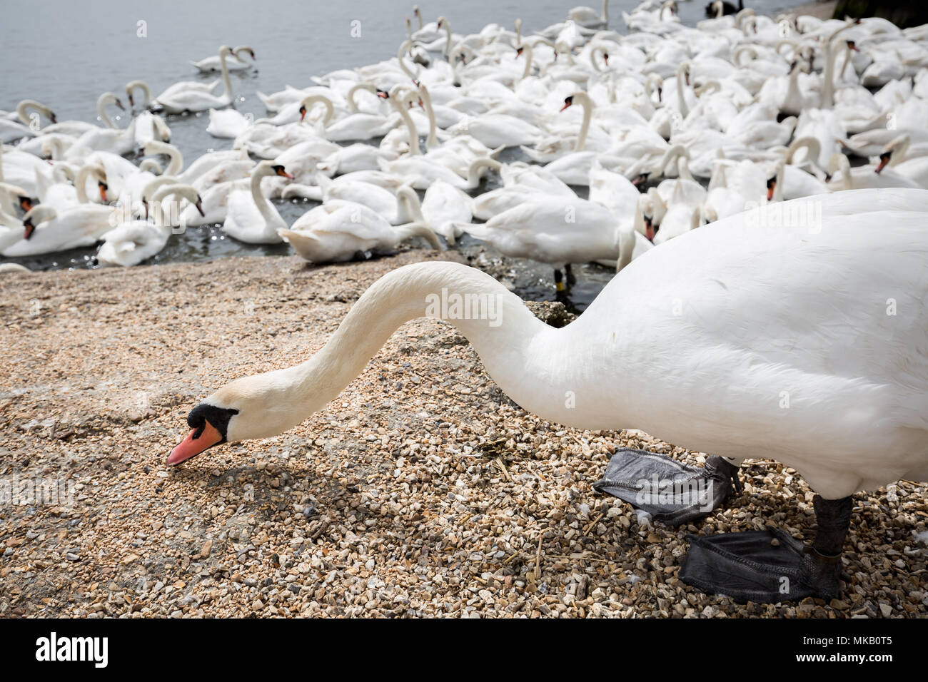 Abbotsbury Swannery in Dorset, UK. - Stock Image