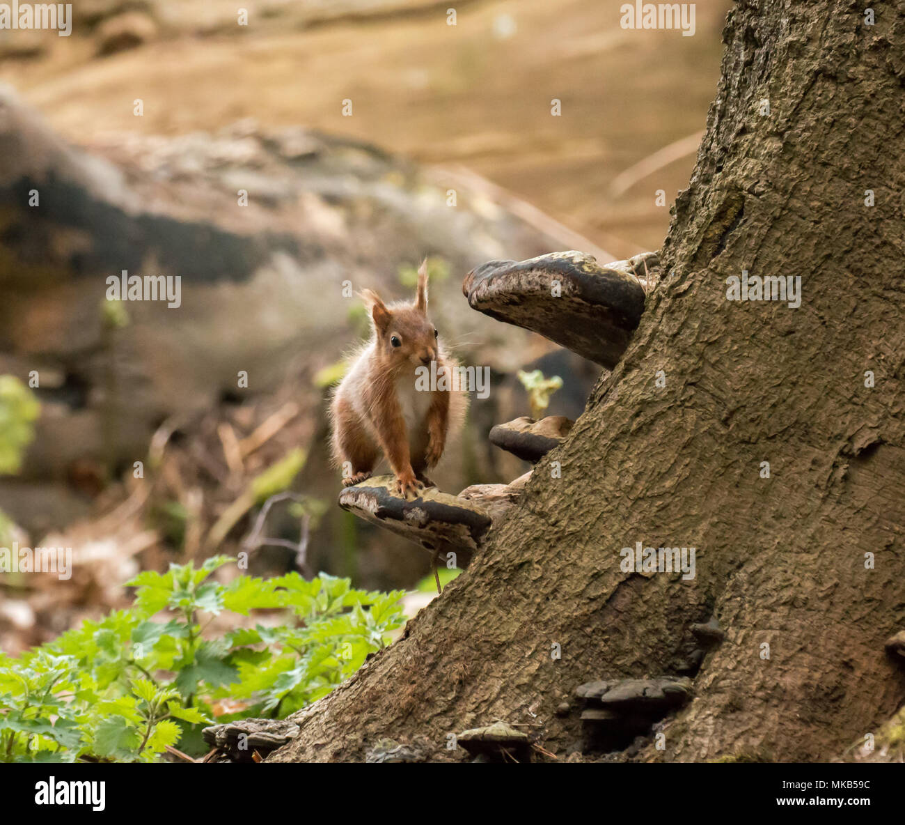 Red Squirrel on bracket fungus on Brownsea Island. - Stock Image