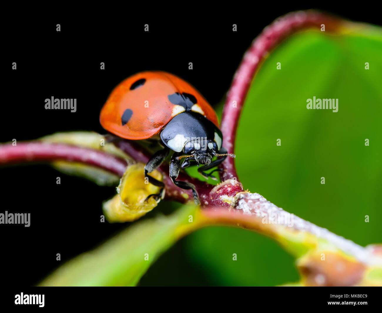 Ladybug Insect on Twig Macro - Stock Image