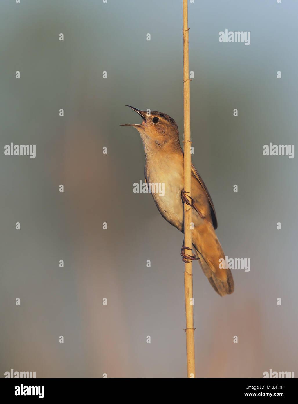 Savi's warbler Stock Photo