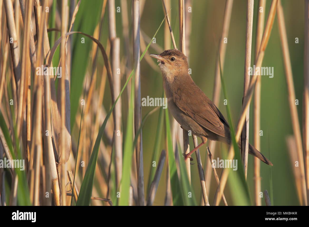 Savi's warbler - Stock Image