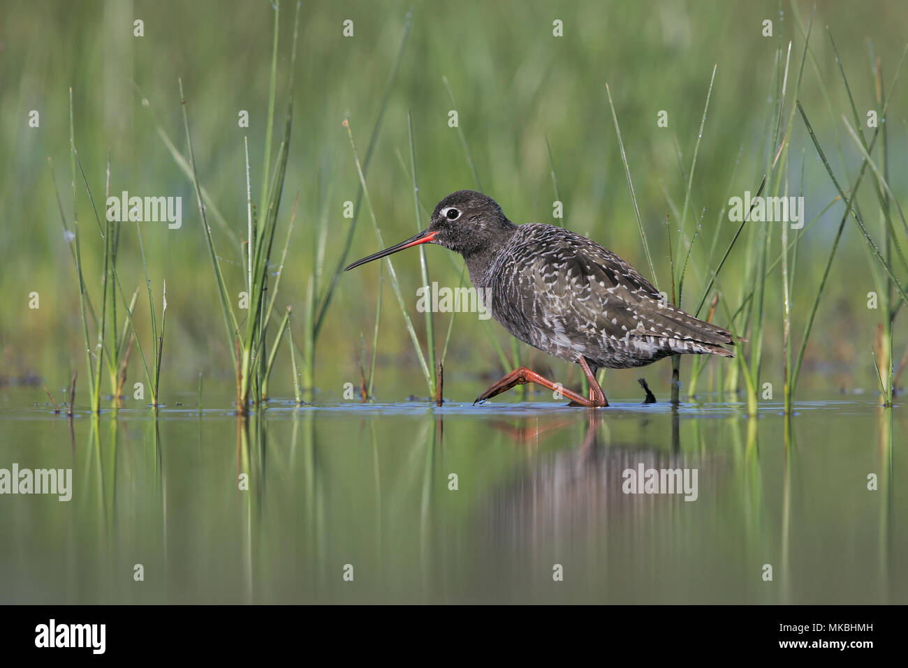 Spotted redshank - Stock Image