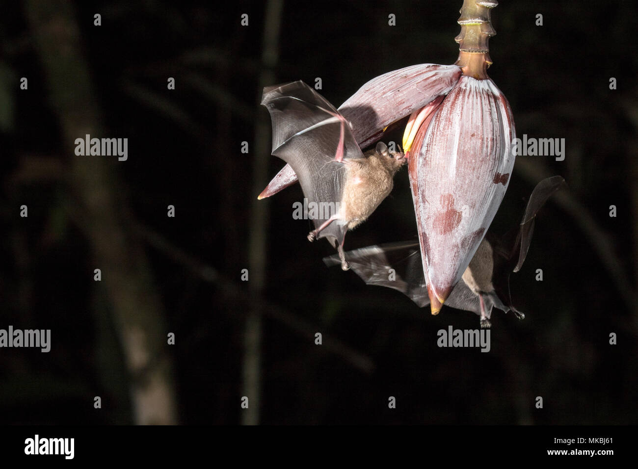 bat feeding on nectar of flower in tropical rainforest at night - Stock Image