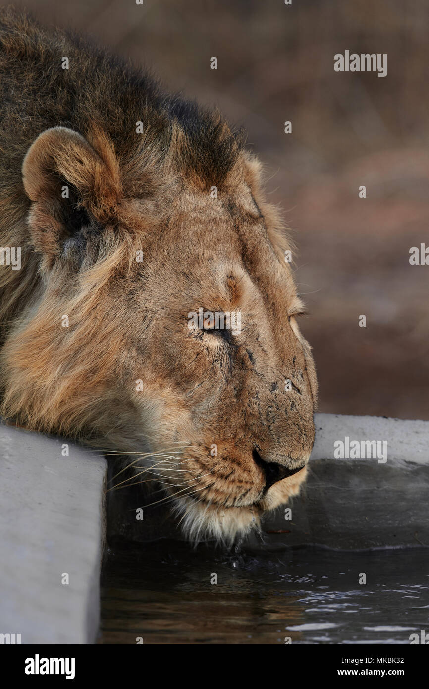 Indian Lion quenching thirst, Gir forest, India. - Stock Image