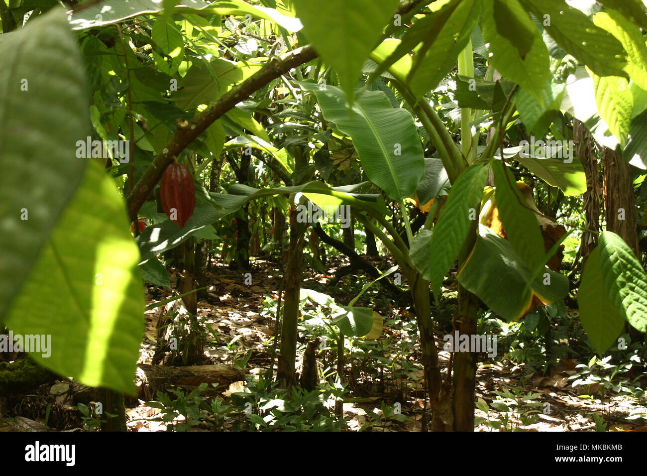 leafs of cacao trees - Stock Image