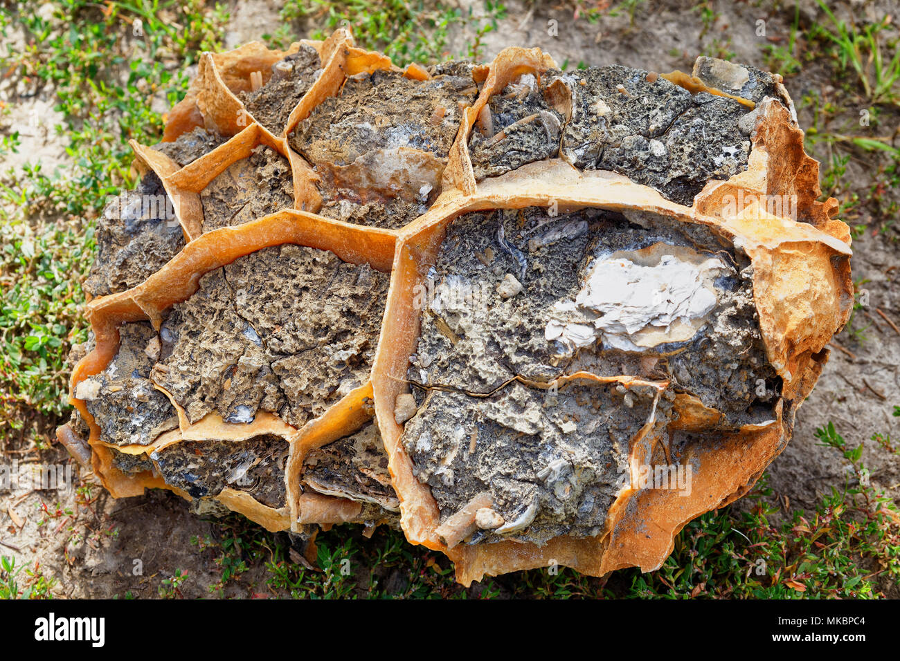 Calcite concretions in clay-septaria,Southern Ural. The oldest remains of the seabed interspersed with remnants of molluscs and minerals - Stock Image