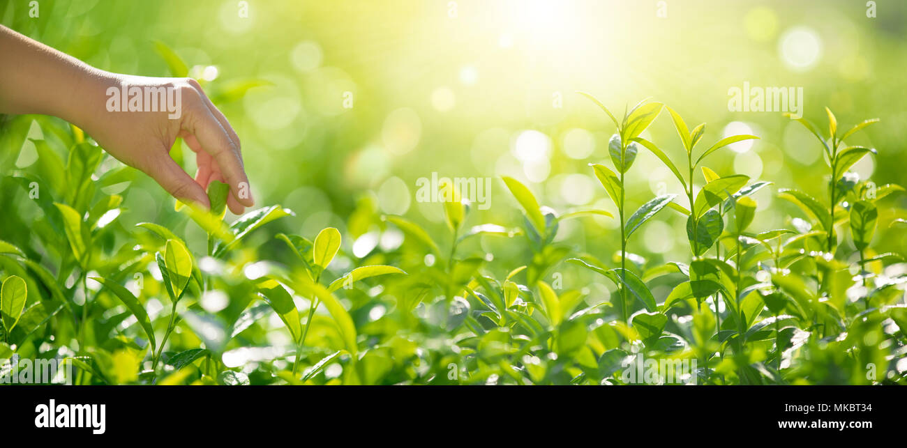 Hand pick tea leaves in the morning - Stock Image