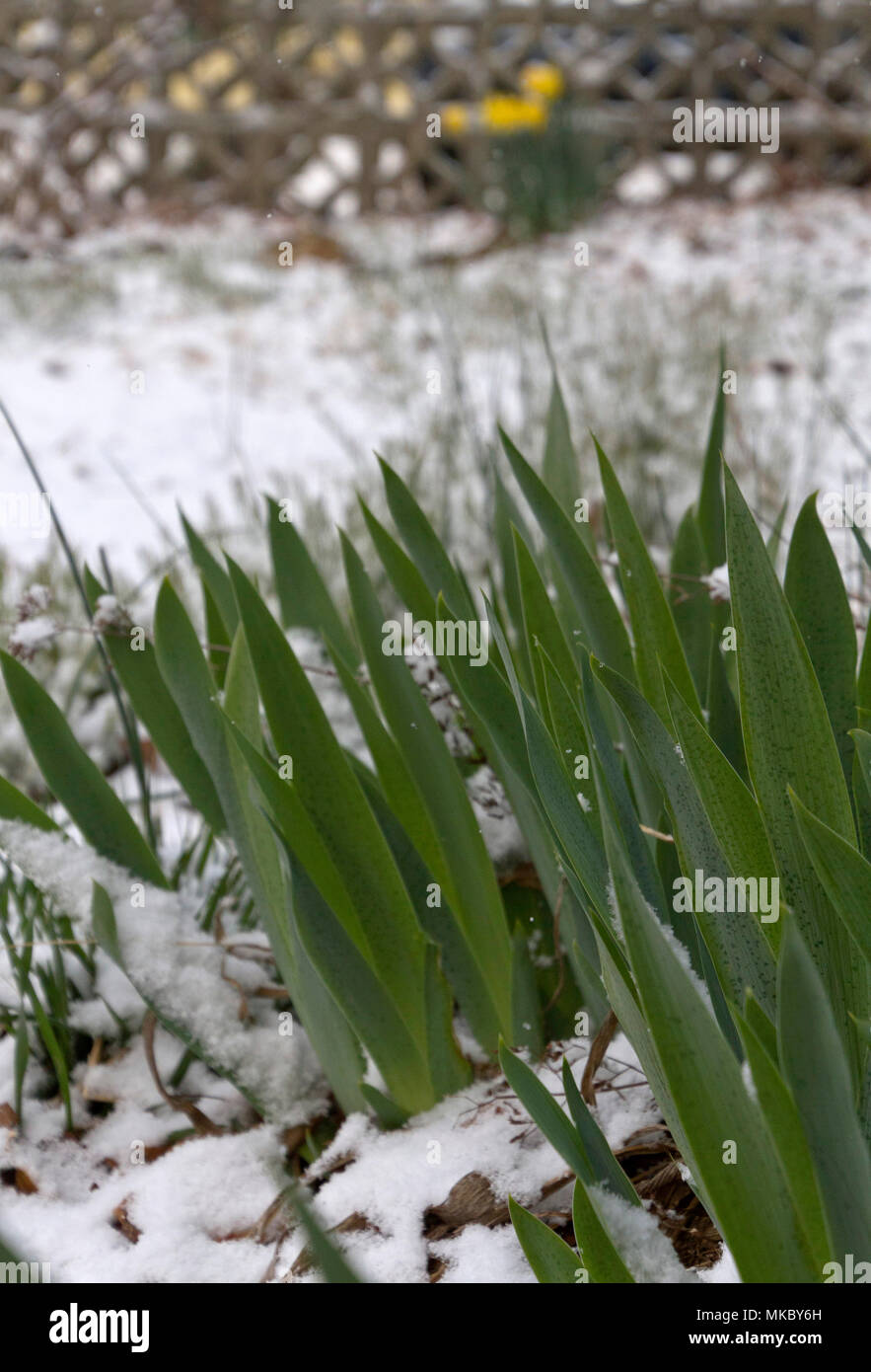 Spring Iris flower plants erupt from ground covered in a late winter snow Stock Photo