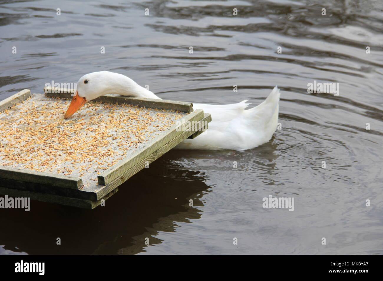 White ducks - Stock Image