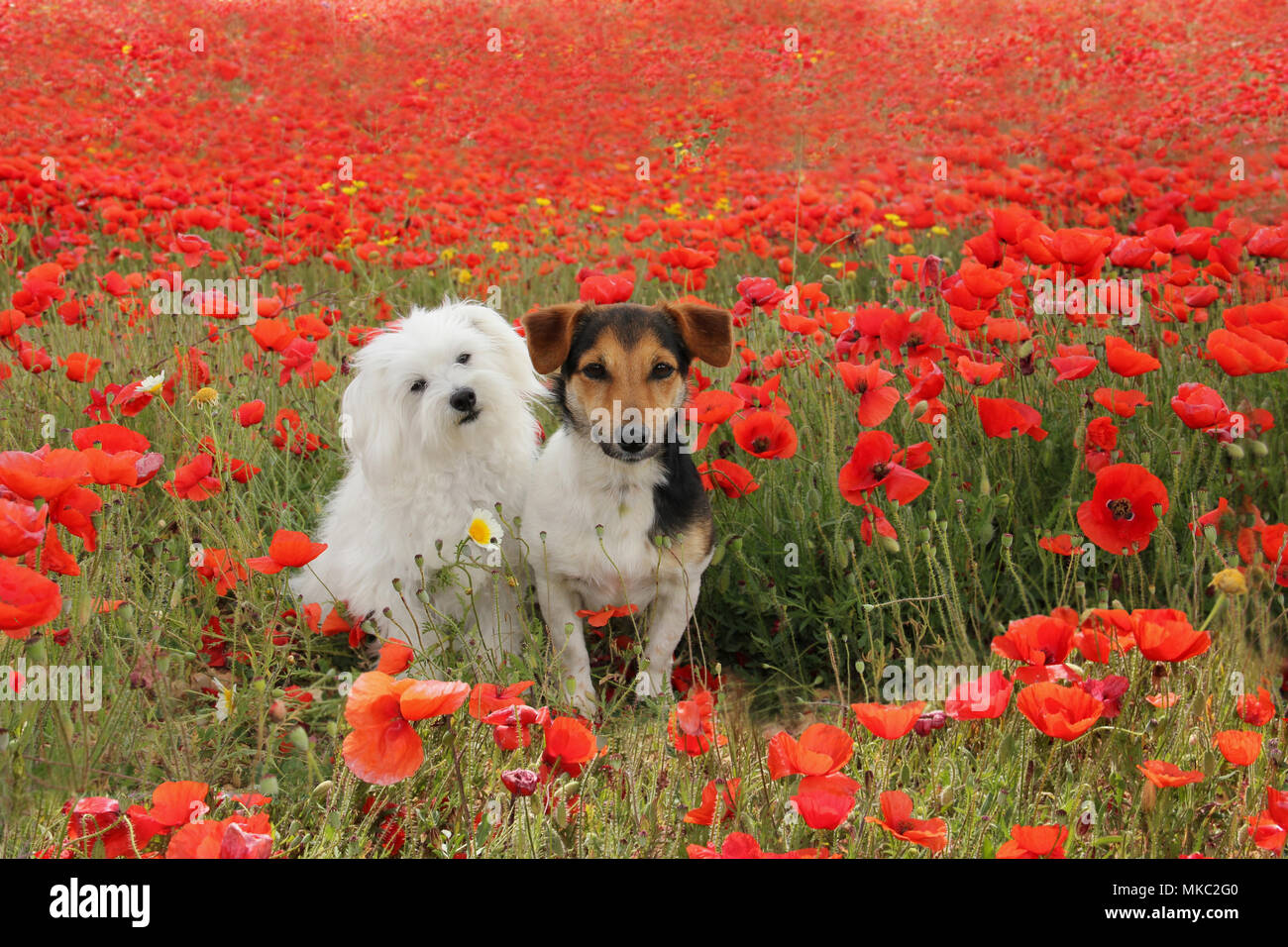jack russell and maltese dog sitting on a poppy meadow - Stock Image