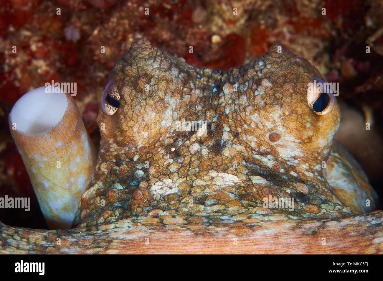 Common octopus (Octopus vulgaris) portrait in Mediterranean Sea (Formentera, Balearic Islands, Spain) - Stock Image