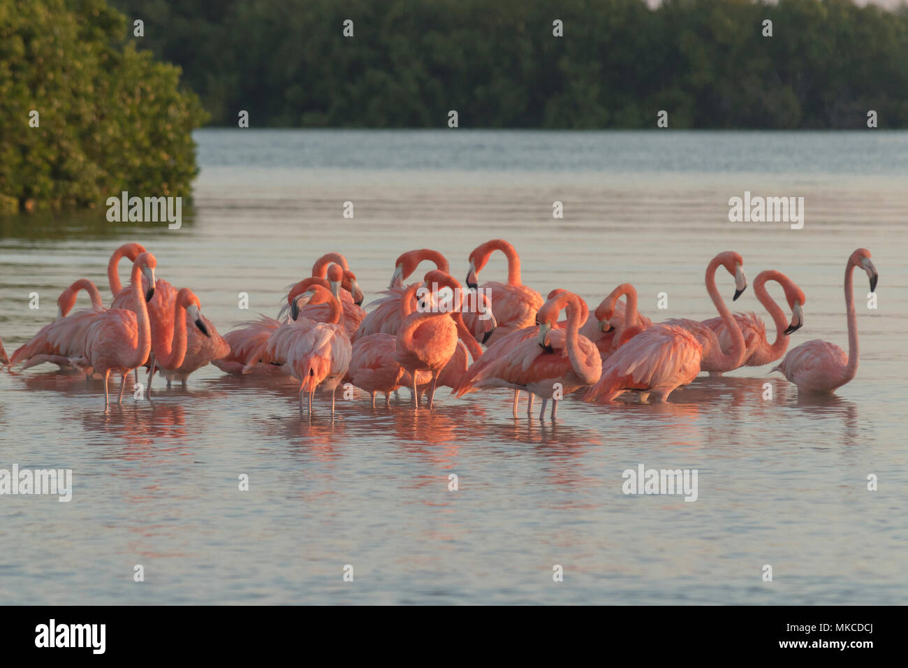Pink flamingos family at dawn , they gather before setting off to start their day in the river - Stock Image