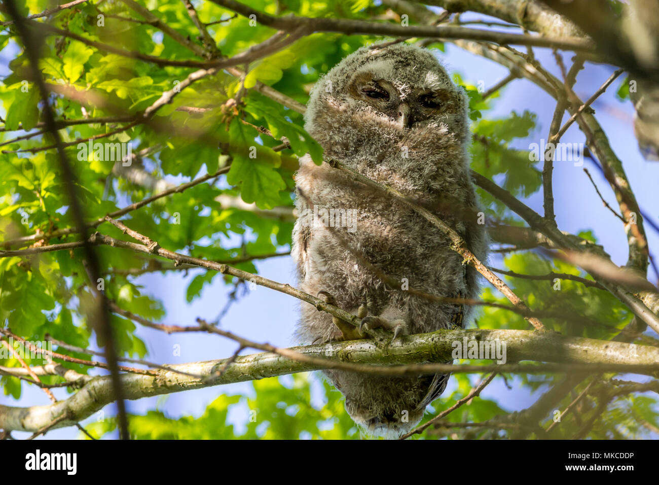 Tawny owl (Strix aluco) one of two owlets perched high in a tree about a hundred yards from an adult in a silverbirch tree said to be the mother owl. - Stock Image