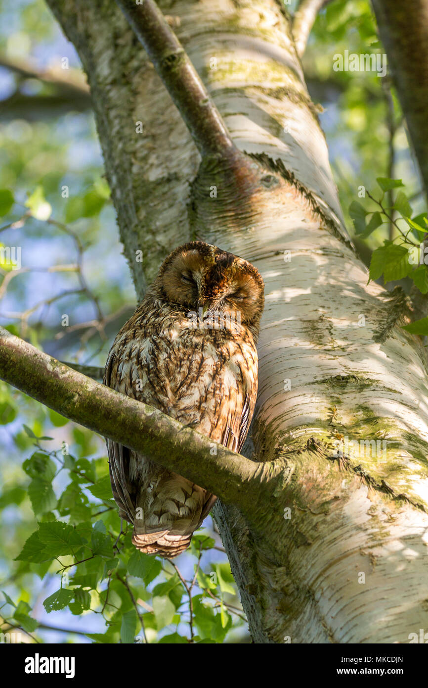 Tawny owl perched in a silverbirch tree at the Pulborough wildlife reserve about 100 yards from two owlets in another tree said to be direct family. - Stock Image