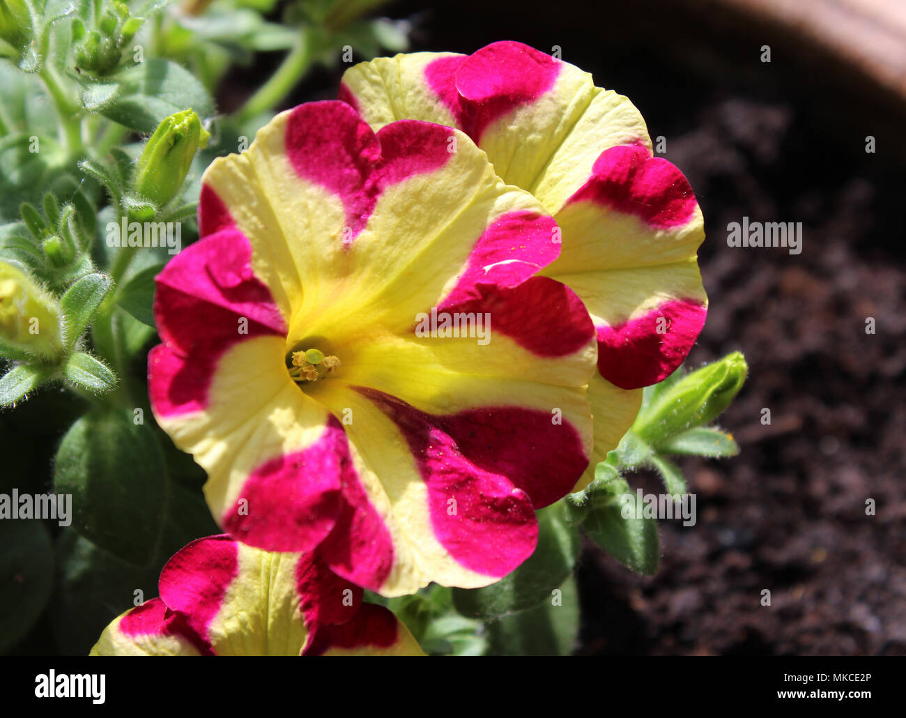 Beautiful and unusual pink and yellow striped petunia flowers in an beautiful and unusual pink and yellow striped petunia flowers in an outdoors setting with copy space izmirmasajfo