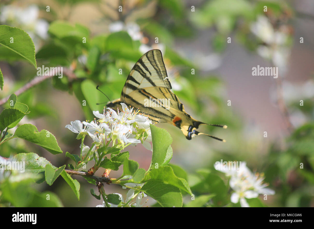 a butterlfy on the flower - Stock Image