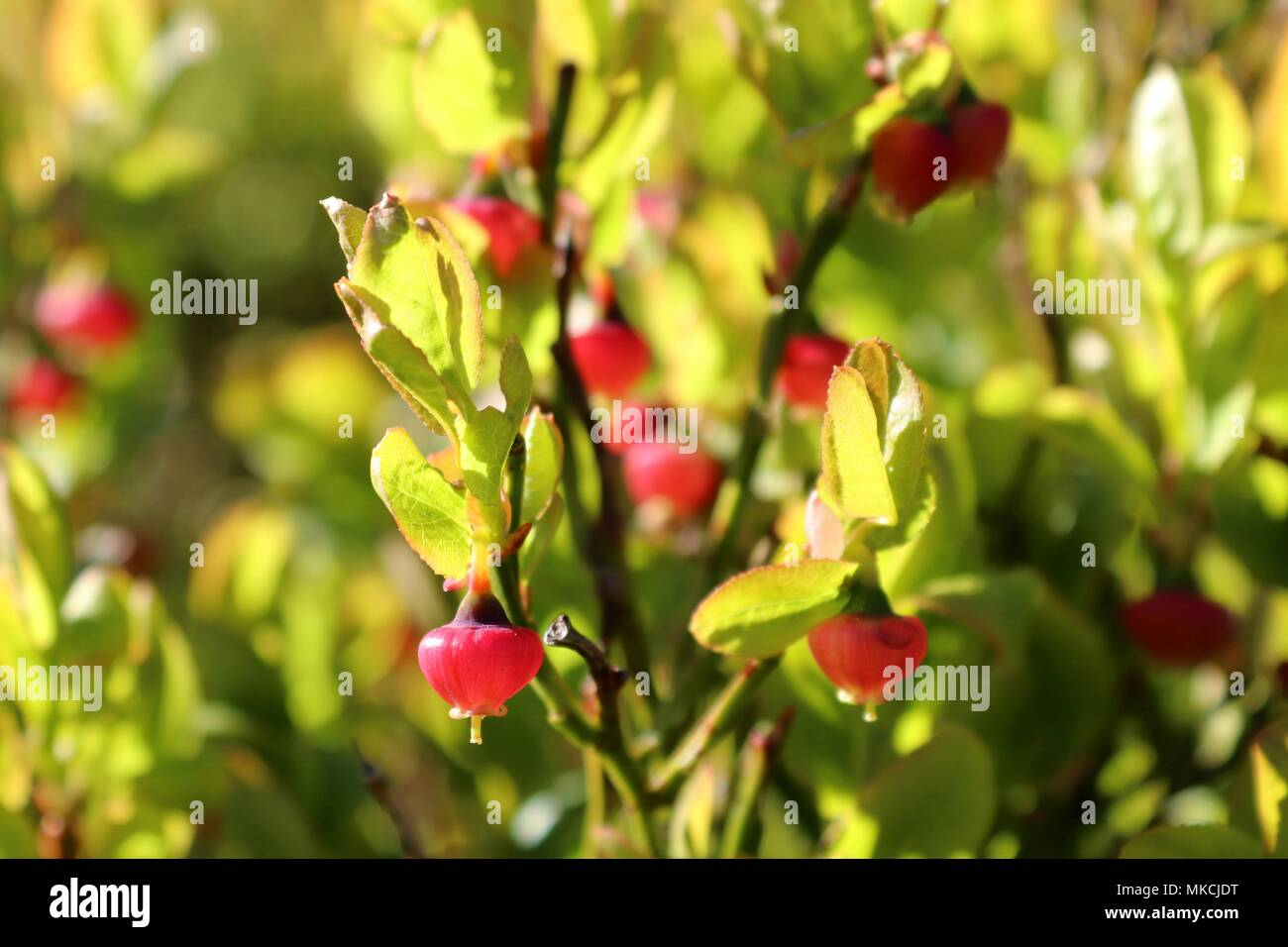 close-up of wild lowbush blueberries, unripe in springtime, green pink in a stage of maturation - Stock Image