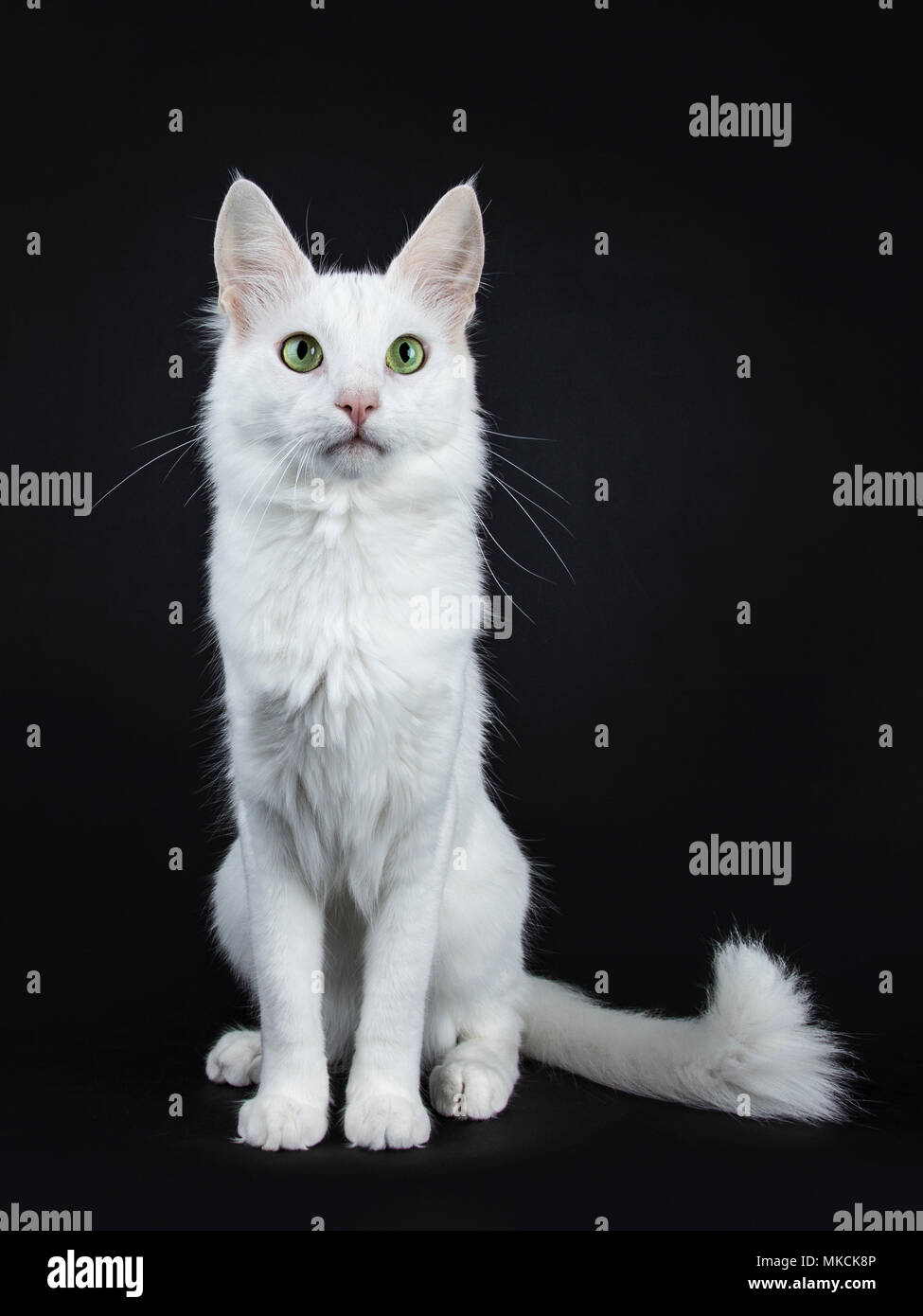 Solid White Turkish Angora Cat With Green Eyes Sitting Facing Front