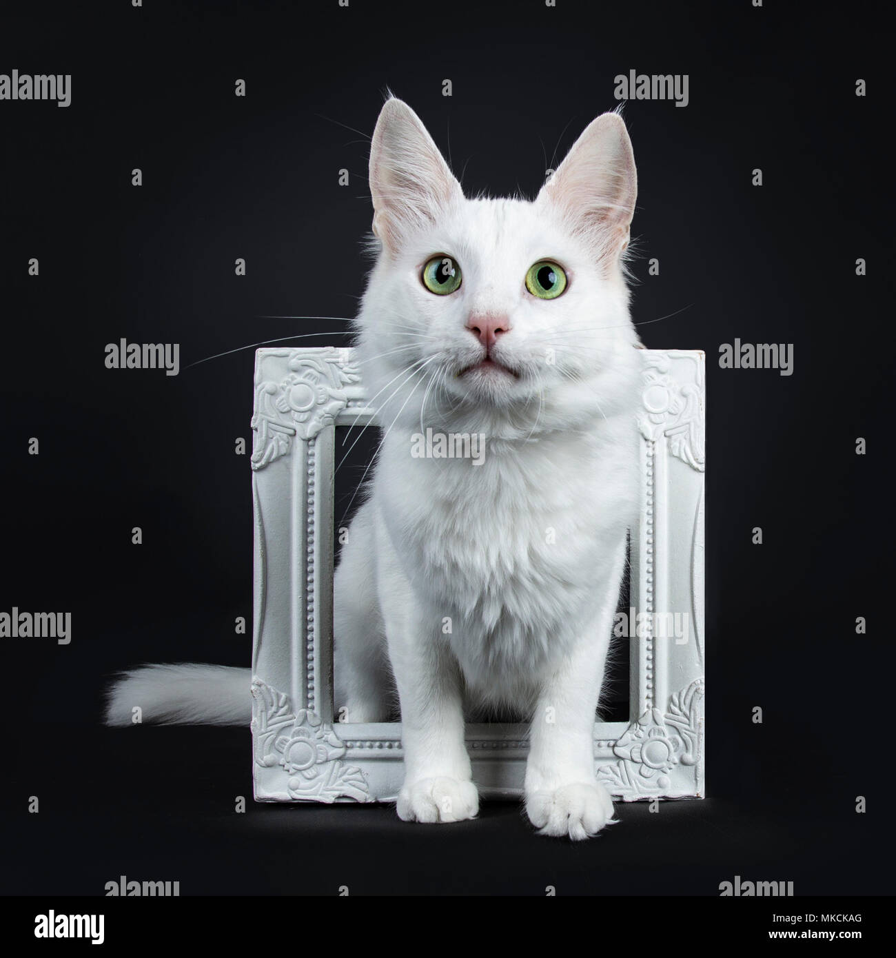 Solid White Turkish Angora Cat With Green Eyes Sitting Throught