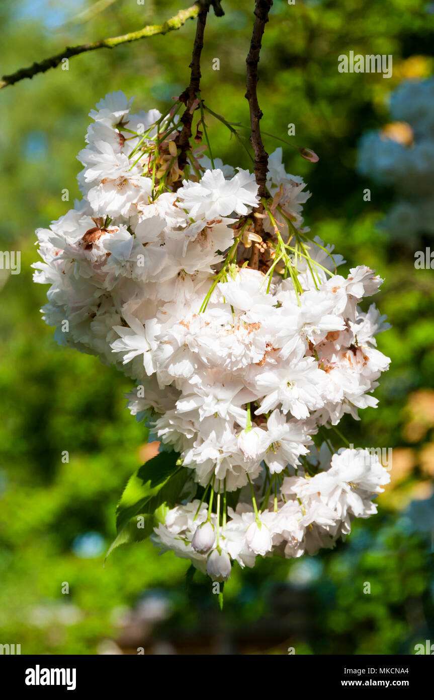 White cherry blossom on branches of an ornamental cherry tree Stock Photo