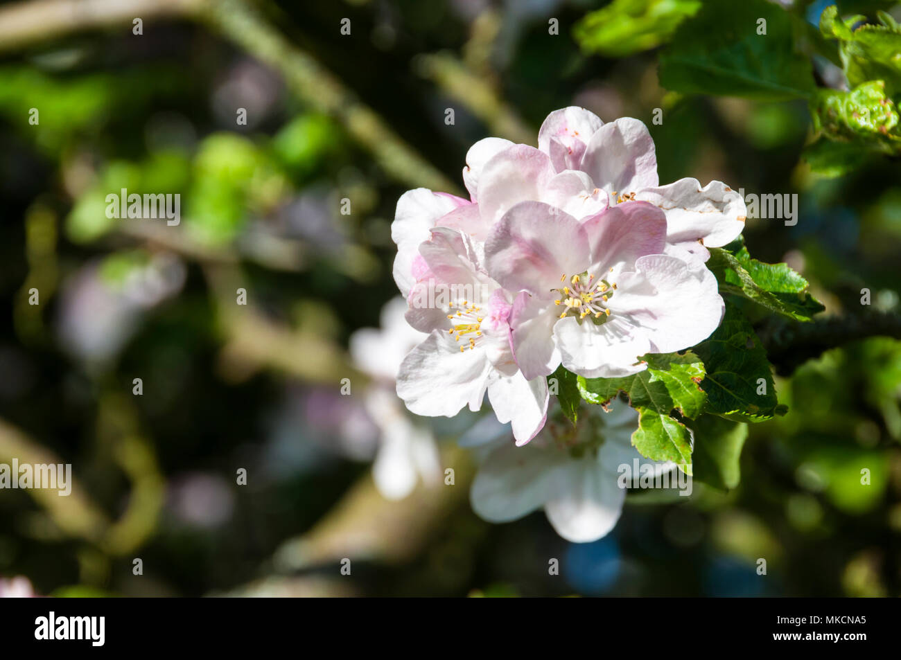 White apple blossom on branches of a Bramley apple tree, Malus domestica - Stock Image