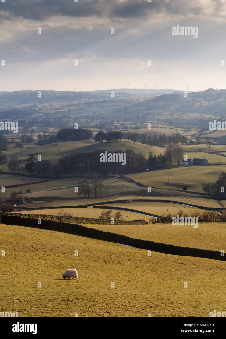 A lone sheep grazes on pasture in the Lune Valley, under the rolling hills of Cumbria. - Stock Image
