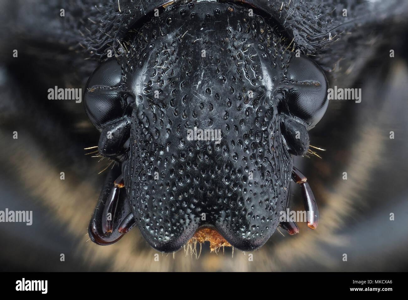 green beetle - Helota - Stock Image